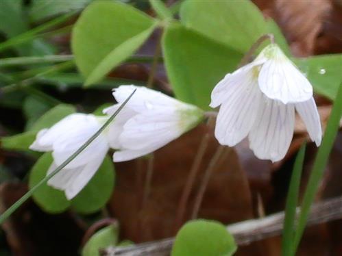 Blüten des Waldsauerklee(Oxalis acetosella(L.))
