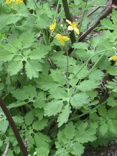 Schöllkraut(Chelidonium majus(L.))