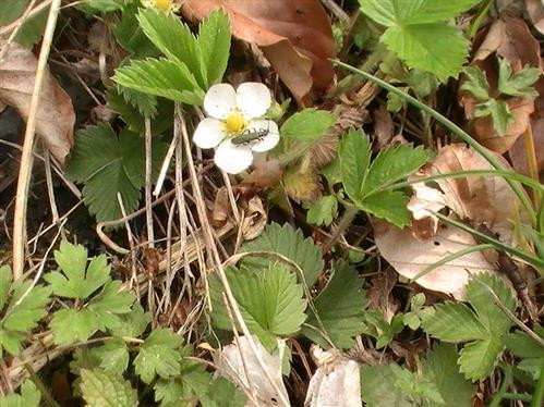 Blüte der Walderdbeere(Fragaria vesca(L.)) sowie als Blütenbesucher einen graugrünen Schenkelkäfer(Oedemera virescens)
