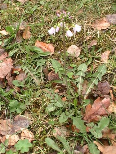 Wiesen-Schaumkraut(Cardamine pratensis(L.))