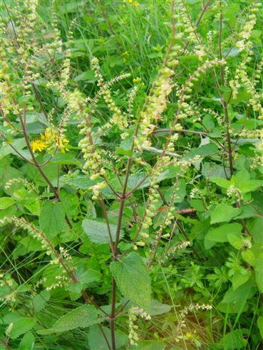 Salbei-Gamander(Teucrium scorodonia(L.))
