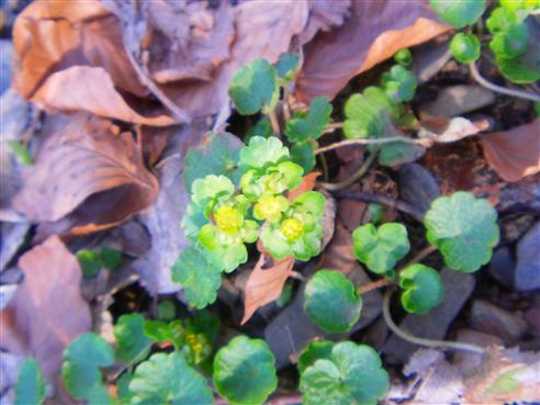 Wechselblättriges Milzkraut(Chrysosplenium alternifolium(L.))