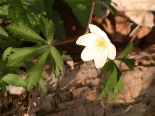 Buschwindröschen(Anemone nemorosa(L.))