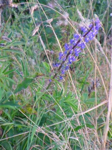 Blaue bzw. Schmalblättrige Lupine(Lupinus angustifolius(L.))