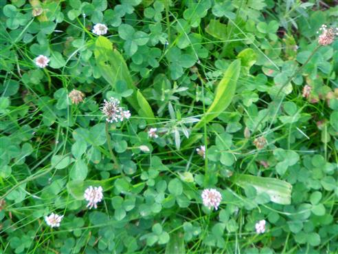 Spitzwegerich(Plantago lanceolata(L.))