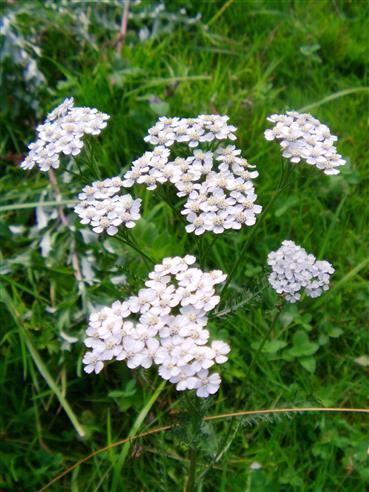 Weidenblättrige Sumpf-Schafgarbe(Achillea salicifolia(Besser))