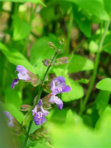 Echte Katzenminze(Nepeta cataria(L.))