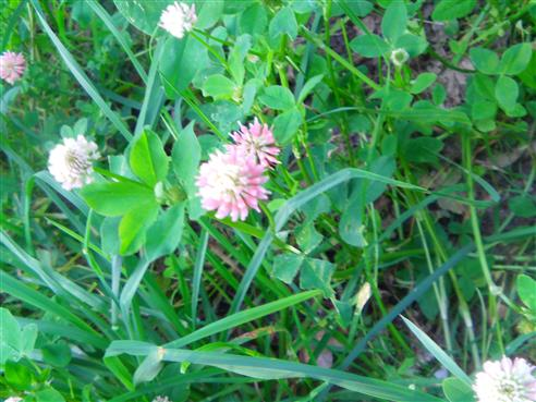 Mittlerer Klee(Trifolium medium(L.))