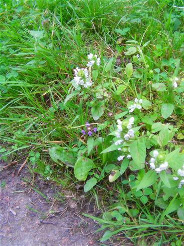Kleine Braunelle(Prunella vulgaris(L.)) violett wie weiß blühend