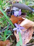 Blaustern Scilla