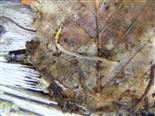Enchytraeidae