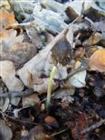 Rotbuche(Fagus sylvatica(L.)) Keimling