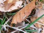 Weichwanze(Stenodema laevigata(L.))