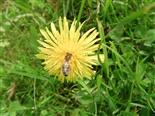 Honigbiene Apis mellifera(L.)