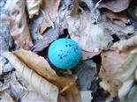 Ei einer Singdrossel