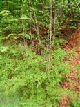 Esche(Fraxinus excelsior(L.))