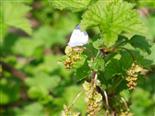 Faulbaum Bläuling(Celastrina argiolus(L.))