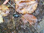 kupferfarbener Buntgrabläufer(Poecilus cupreus)