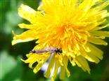 Märzfliegen bei der Paarung(Bibionidae)