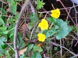 Sumpfdotterblume(Caltha palustris(L.))