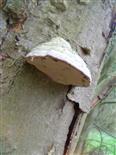 Zunderschwamm (Fomes fomentarius(L.))