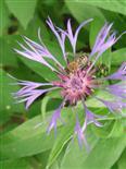 Biene(Apis mellifera(L.)) auf Nahrungssuche(hier Bergflockenblume)(Centaurea montana(L.))