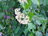 Blüte des Speierlings(Sorbus domestica(L.))