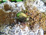 Rosenkäfer(Protaetia aeruginosa)