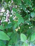 Gemeiner Goldregen(Laburnum anagyroides(Fabr.)