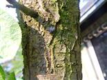 Hausfliege(Musca domestica(L.))