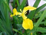 Sumpfschwertlilie(Iris pseudacorus(L.))