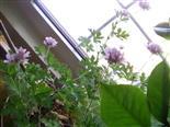 Zitronengeranie(Pelargonium citriodorum)