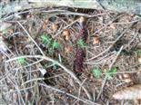 Fichten(Picea abies(L.))-Naturverjüngung