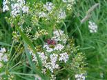 Gemeiner Weichkäfer(Cantharis fusca(L.))