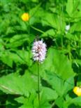 Gewürfelte Tanzfliege(Empis tesselata(L.))