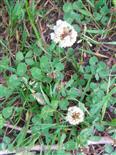 Weißklee(Trifolium repens(L.))
