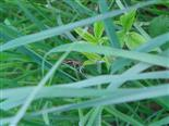 Piratenspinne(Pisaura mirabilis(L.))