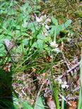 Varietät des gemeinen Kreuzblümchens(Polygala vulgaris(L.) ssp. oxyptera)