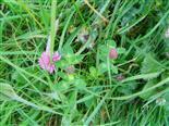 Wiesen- oder Rotklee(Trifolium pratense(L.))