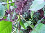 Faulbaum(Frangula dodonei(ARD.)) Blüte