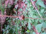 Hain-Bänderschnecke(Cepaea nemoralis(L. 1758))