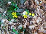 Zweig eines Besenginsters(Cytisus scoparius(L.))
