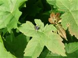 Kadaverfliege(Calliphoridae Cynomya cadaverina(L.))