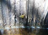 Gemeine Garten-Schwebfliege oder Große Schwebfliege(Syrphus ribesii(L. 1758))
