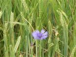 Kornblume(Centaurea cyanus(L.))