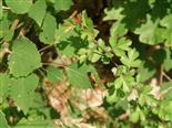 Gespinst-Blattwespe Pampilius cf. betula