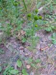 Strahlenlose Kamille(Matricaria discoidea(DC.))