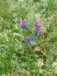 Vogelwicke(Vicia cracca(L.))