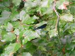 Blauflügel-Prachtlibelle(Calopteryx virgo(L. 1758))
