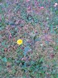 Herbstlöwenzahn(Leontodon autumnalis(L.))